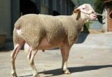 Dairy sheep breeds selection