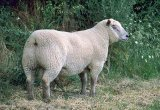 Sheep breed indexes