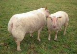 Meat sheep breeds selection